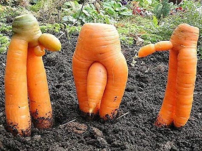 Мало что сравнится с высокой полезностью и низкой ценой моркови