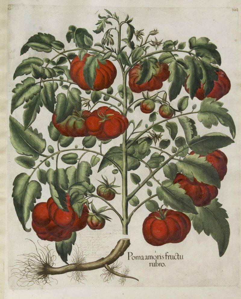 Старинное изображение куста томата